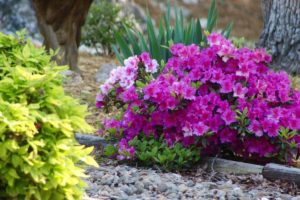 purple azalea flowers with garden mulch 300x200