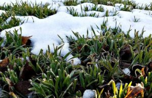snow covered plants 300x194
